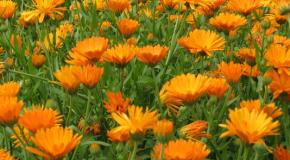 goudsbloemen