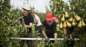Mensen die peren aan het oogsten zijn op de boomgaard
